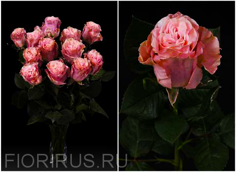Роза Эквадор Пинк перл (Pink Pearl)