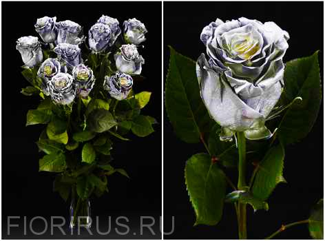 Роза Эквадор Силвер спрэй (Silver Spray)