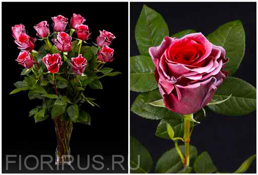 Роза Эквадор Рэд хэйз (Red Haze)
