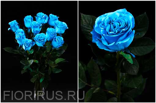 Роза Эквадор Бэйби блу  (Baby Blue)
