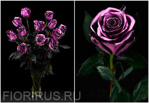 Роза Эквадор Дарк пинк (Dark Pink)