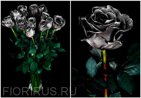 Роза Эквадор Дарк силвер (Dark Silver)