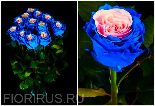 Роза Эквадор Эдж пинк блу  (Edge Pink Blue)