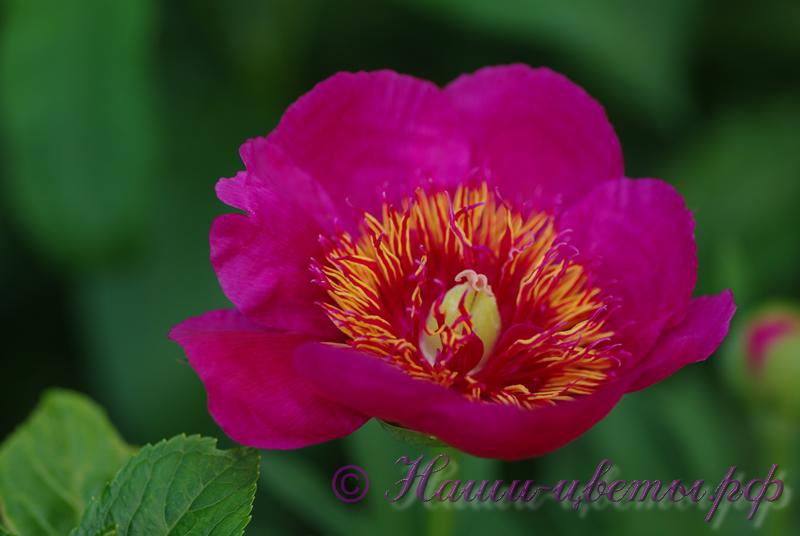 Пион травянистый 'Анемонфлора' / Peonia 'Anemonflora'