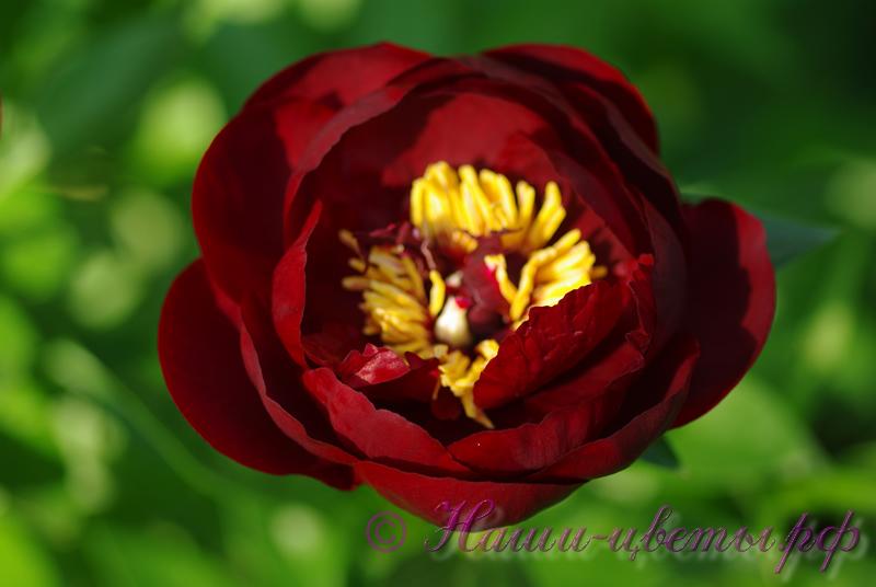 Пион травянистый 'Бакай Белле' / Paeonia 'Buckeye Belle'