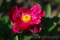 Пион травянистый 'Ниппон Бьюти' / Peonia 'Nippon Beauty'