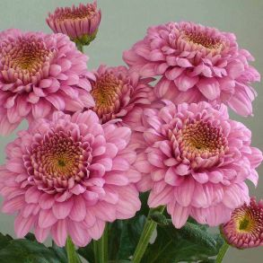 Хризантема корейская Payton Lady Pink