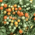 tomat-michurinskij-sladkij-avtorskij-myazinoj