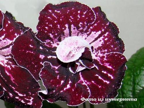UA-Фаленопсис (Ю.Склярова)