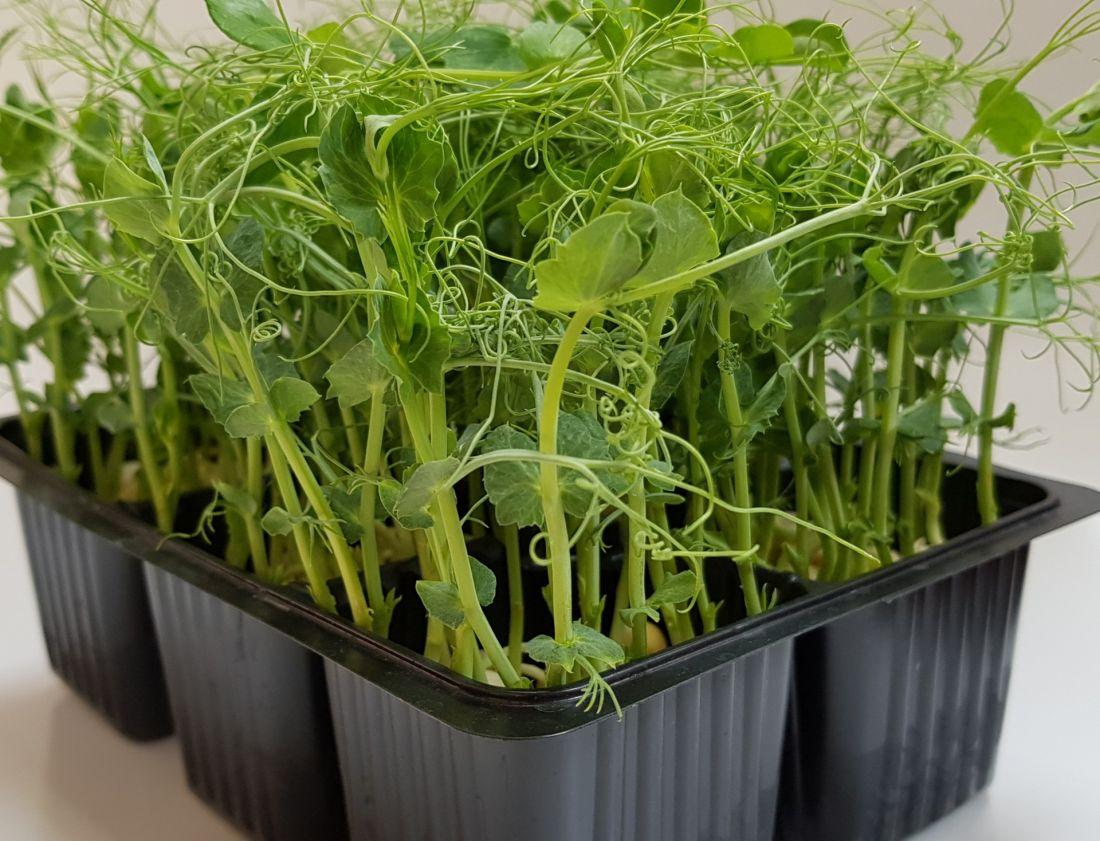 набор для выращивания микрозелени горошек