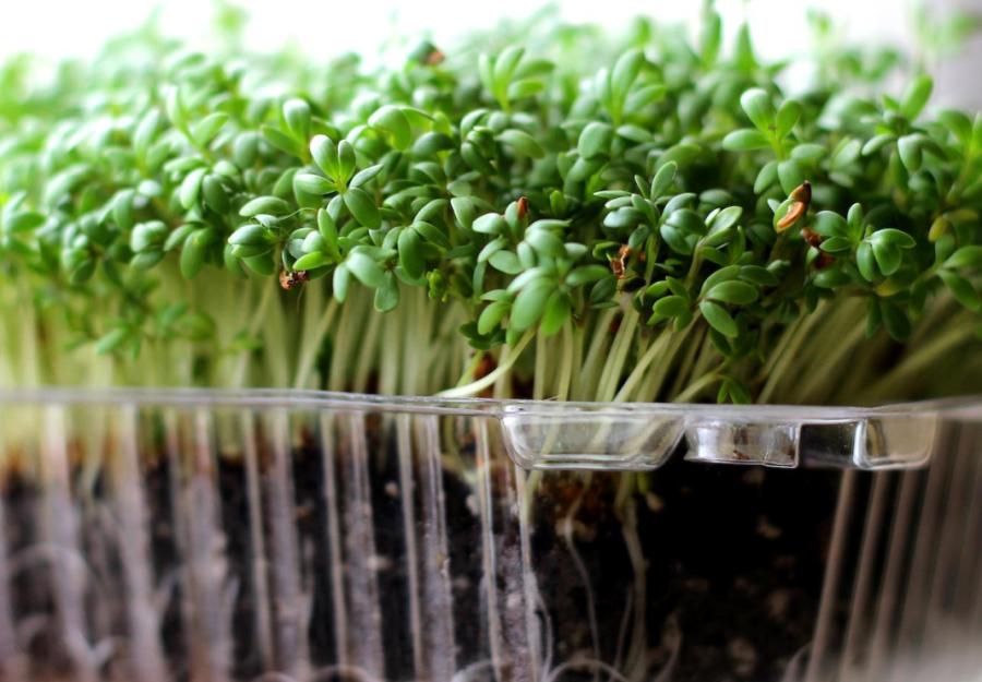 набор для проращивания гречка зеленая