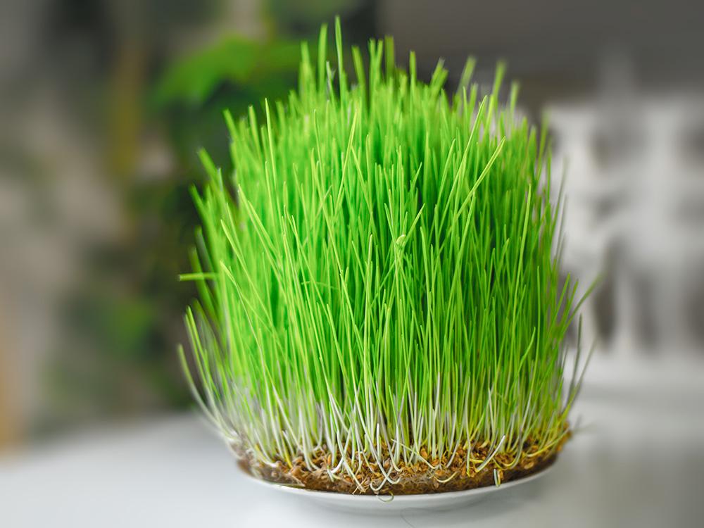 набор для выращивания рожь микрозелень