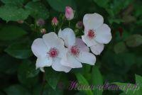 Роза 'Астрономия' / Rose 'Astronomia' (Весенняя Звезда)