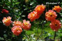 Роза 'Вестерленд' / Rose 'Westerland'