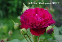 Роза 'Вильям Шекспир  2000' / Rose 'William Sheakespeare 2000'