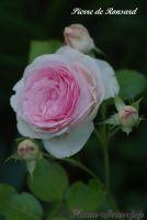 Роза 'Пьер Дэ Ронсард' / Rose 'Pierre de Ronsard'