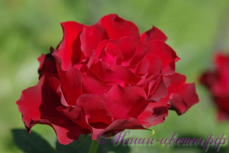 Роза 'Хомедж э Барбара' / Rose 'Hommage a Barbara'