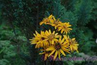 Бузульник 'Дездемона' / Ligularia dentata 'Desdemona'