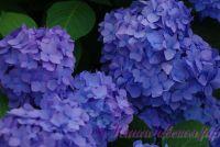 Гортензия крупнолистная 'Бесконечное Лето' / Hydrangea macrophylla 'Endless Summer'