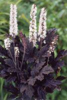 Клопогон 'Брюнет' / Cimicifuga racemosa 'Brunette'
