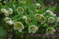 Морозник восточный / Helleborus orientalis