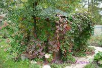 Виноград дивичий