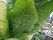 Семена табака Крупнолистный Ильский