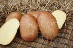 kartofel-krasa