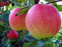 Яблоня Гала 2х летка