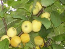 Яблоня Золотой ранет 2х летка