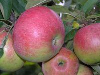 Яблоня Белорусское сладкое 2х летка
