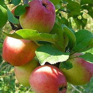 Яблоня Солнышко 2х летка