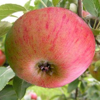 Яблоня Медуница 2х летка