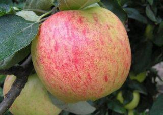 Яблоня Яблочный спас 2х летка