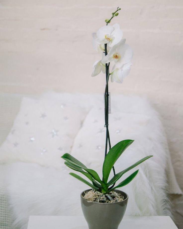 Орхидея Фаленопсис 1ст Белая Д-12