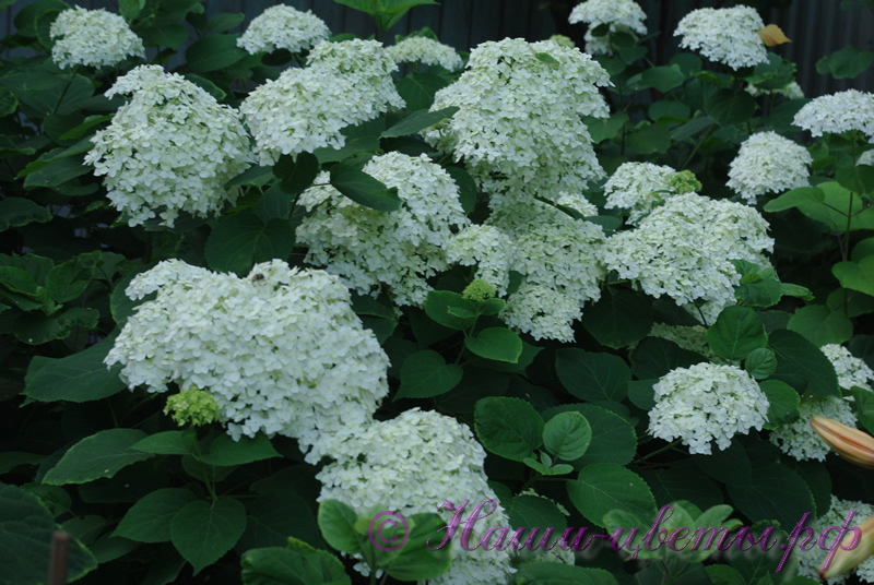 Гортензия древовидная'Аннабель' / Hydrangea arborescens 'Annabelle'
