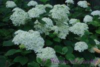 Гортензия древовидная'Анабель' / Hydrangea arborescens 'Annabelle'