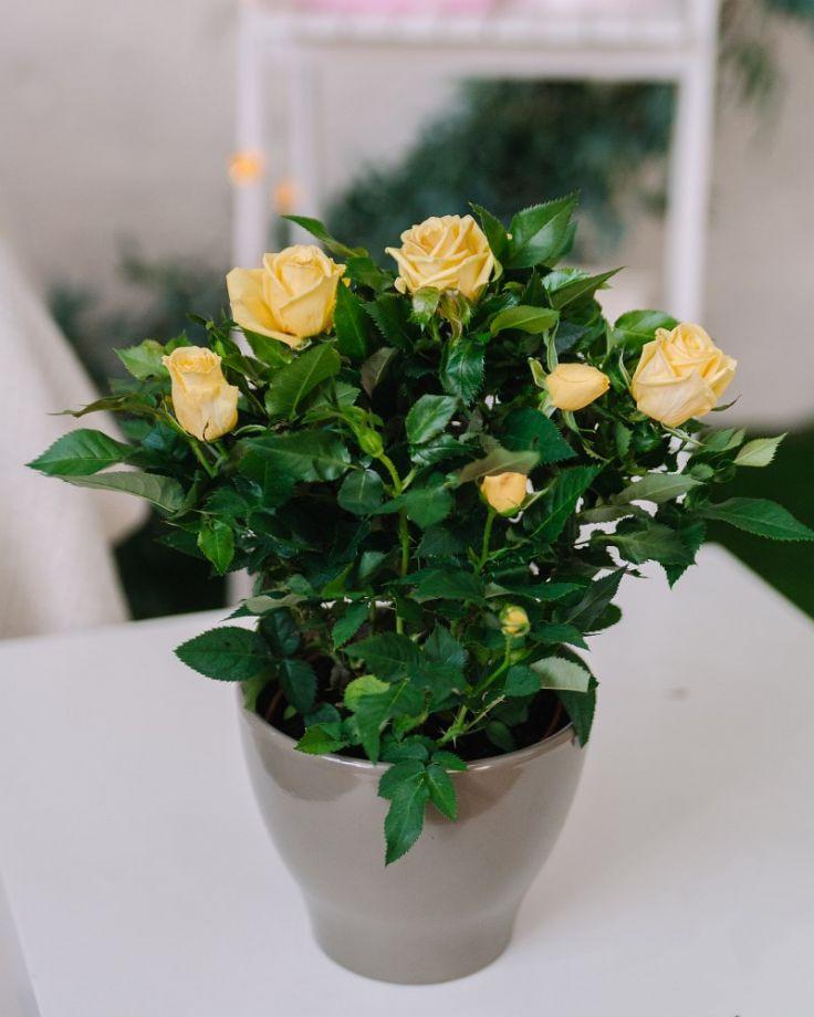 Роза Патио Желтая Д-12/30