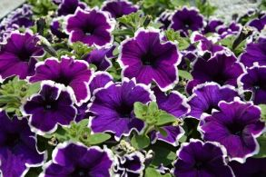 № 316 Петуния Famous Dark Violet Picotee