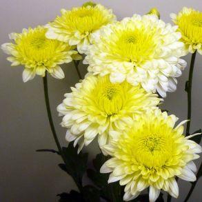 № 05 Хризантема ELLEN WHITE