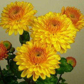 № 15 Хризантема Pompon Yellow