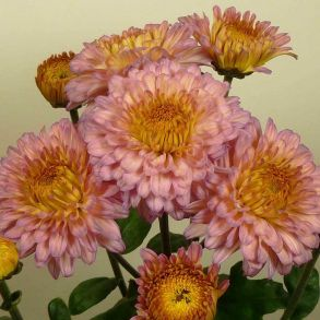№ 23 Хризантема Sally Pink