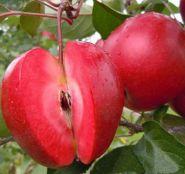Яблоня традиционная Ред Кетти