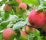 Яблоня традиционная Яркое Лето (Подвой среднерослый ММ106 и 54-118, 2 года)