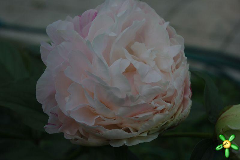 Пион травянистый 'Сольвейг' / Paeonia 'Solvejg'