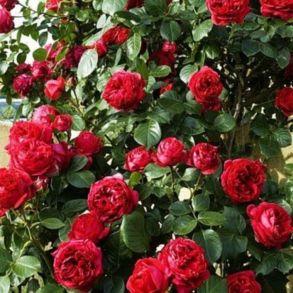 Невысокая плетистая роза или шраб Red Eden Rose (Meilland, 2002)