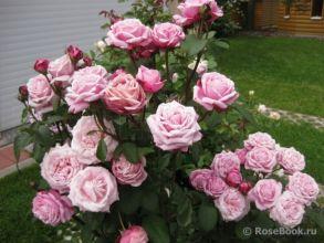 Роза французской селекции Dieter Muller или Soeur Emmanuelle (Delbard, 2004 г.)