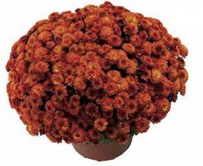 Хризантема Gigi Orange