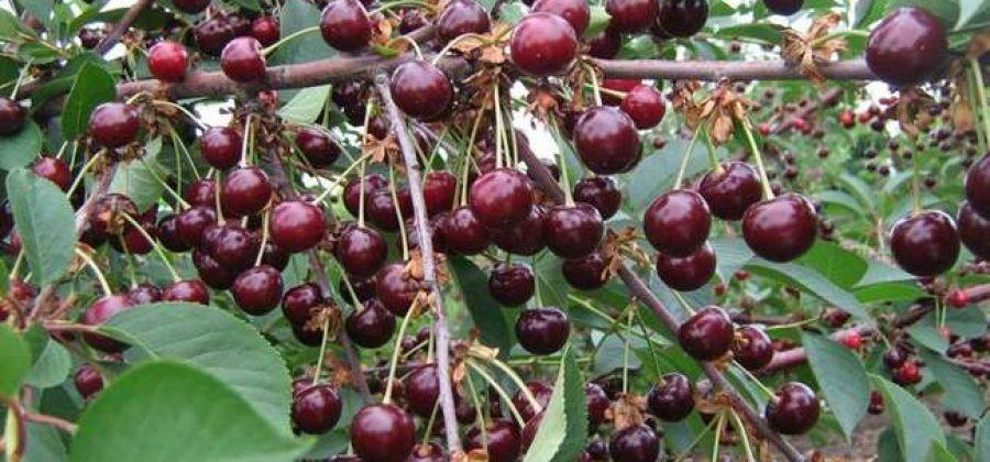 саженцы чудо-вишни(возраст-2 года)