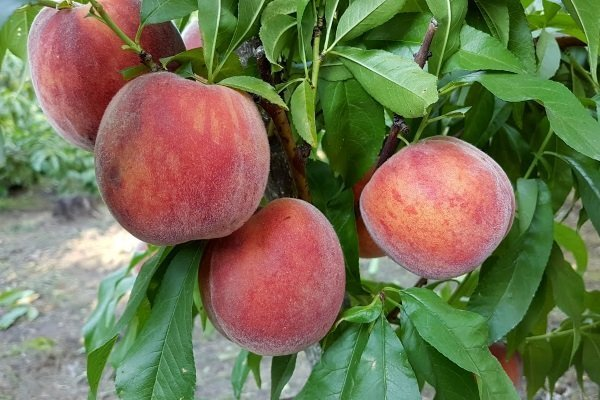 саженцы персика фрост 2 года отправка с 1 сентября2020г